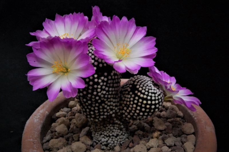 Mammillaria luethyi 2233-211