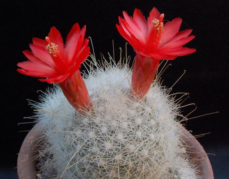 Mammillaria senilis 2394-211