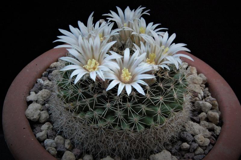 Mammillaria heyderi 2629-212