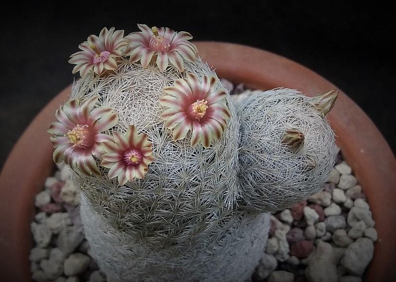 Mammillaria denudata 2752-211