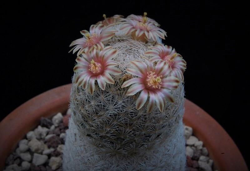 Mammillaria denudata 2752-212