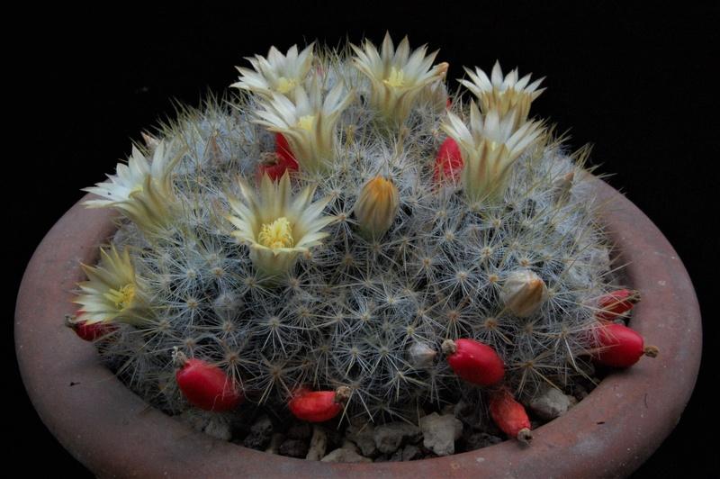 Mammillaria multiceps 3199-210