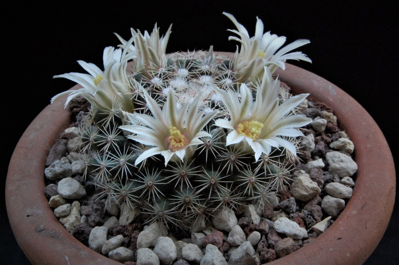 Mammillaria heyderi 3362-210