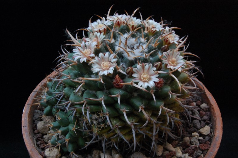 Mammillaria magnimamma 3452-210