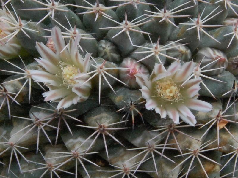 Mammillaria heyderi 4003-210