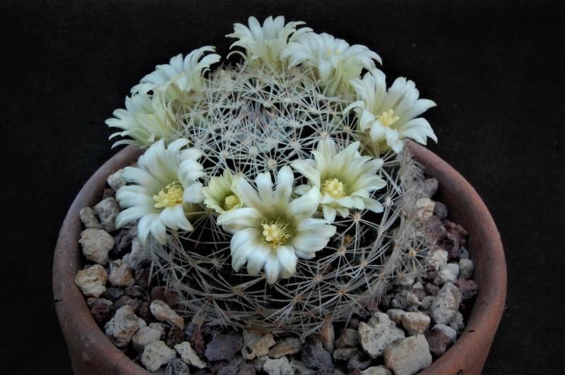 Mammillaria picta 6245-210