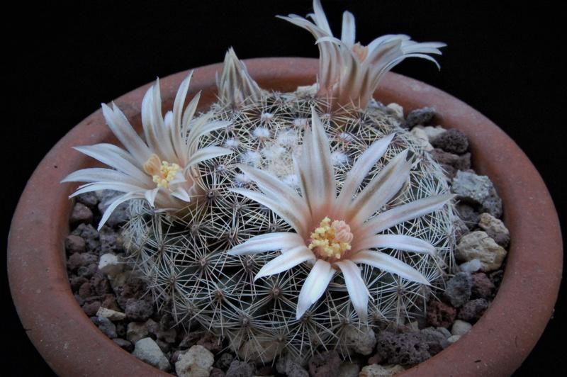 Mammillaria heyderi 7134-210