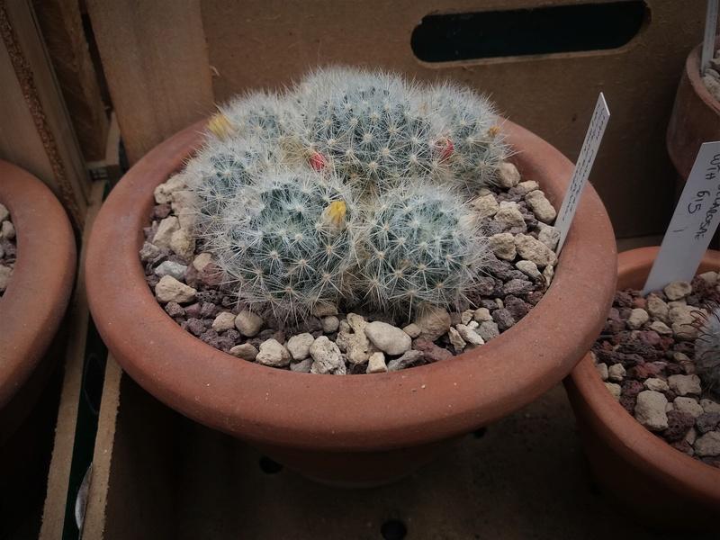 Mammillaria prolifera 8033-211