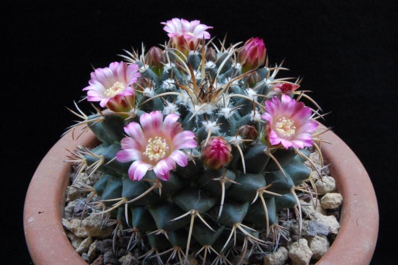 Mammillaria magnimamma 8129-210