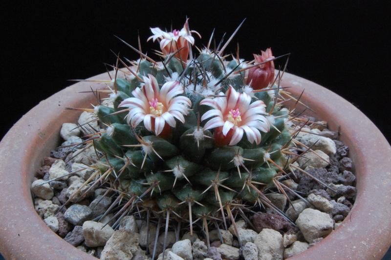 Mammillaria macracantha 8143-210