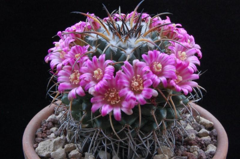 Mammillaria magnimamma 8155-210