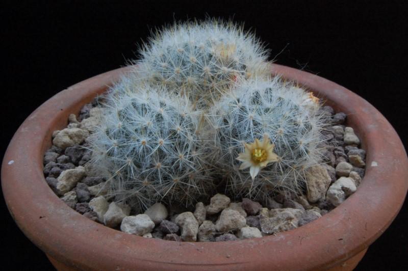 Mammillaria prolifera 8171-s10