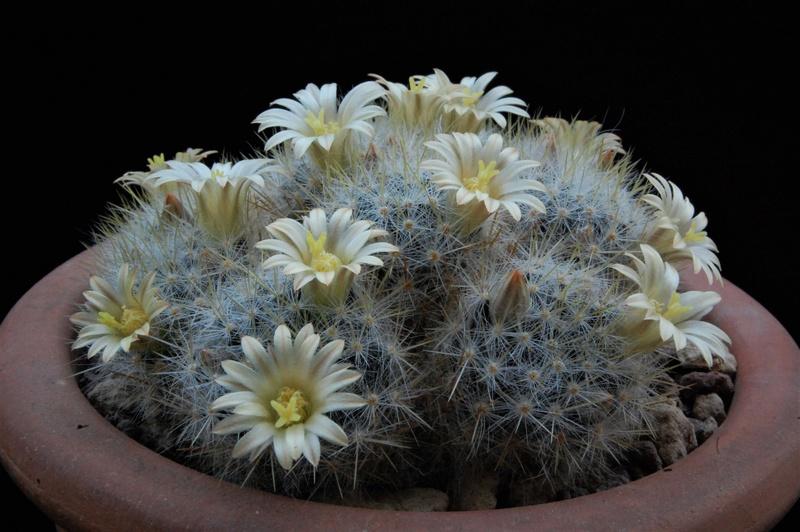 Mammillaria multiceps 8435-216