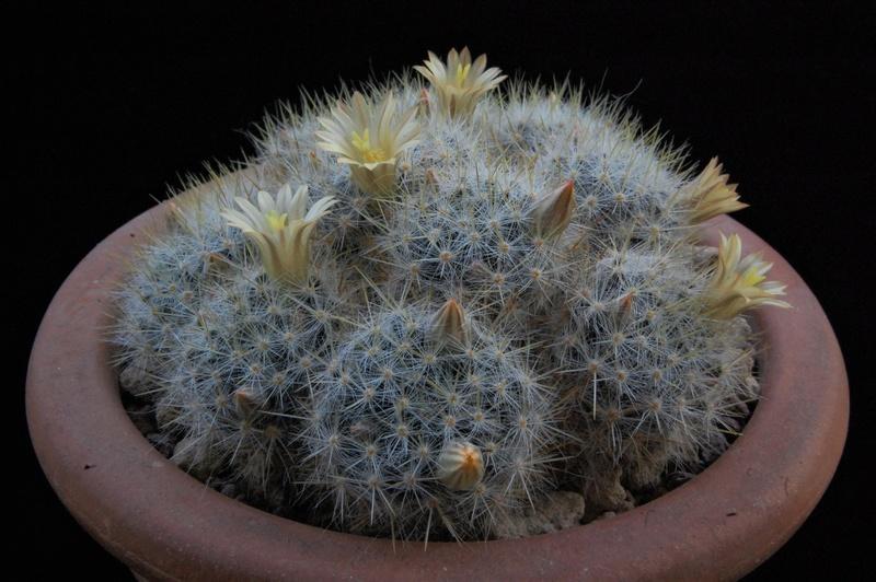 Mammillaria multiceps 8435-217