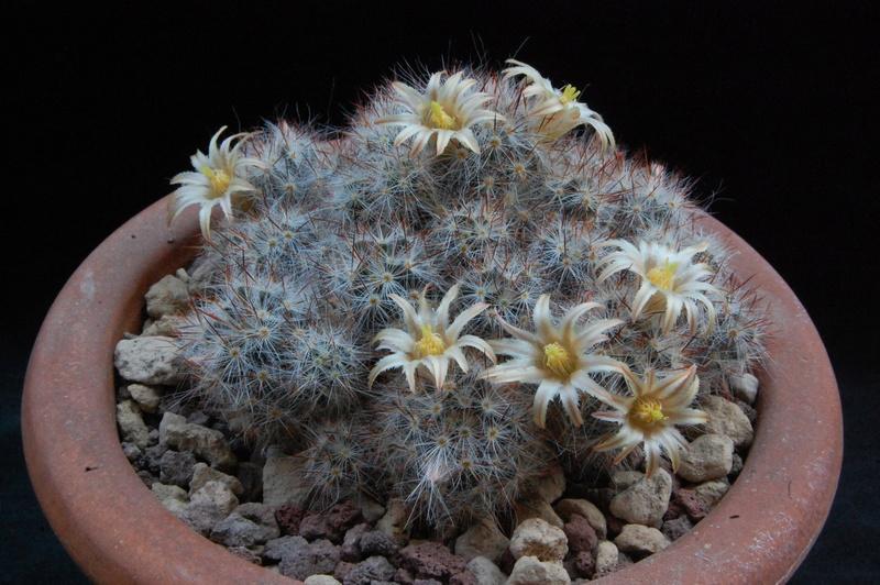 Mammillaria multiceps 8450-214