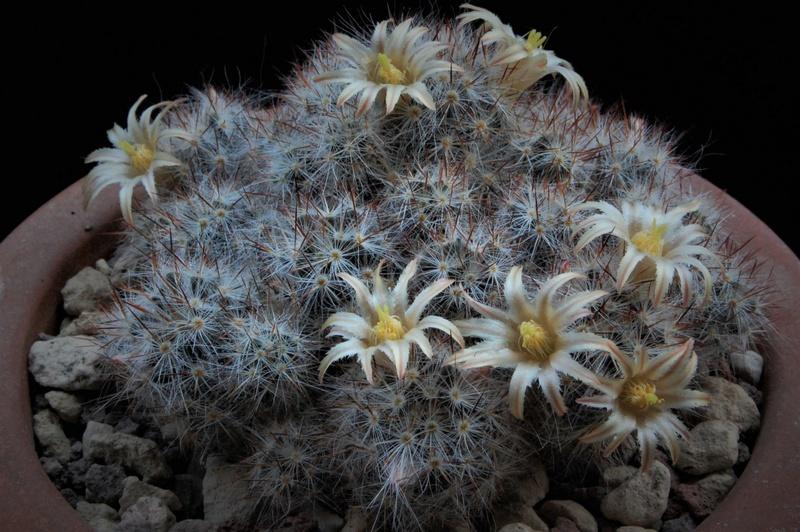 Mammillaria multiceps 8450-215