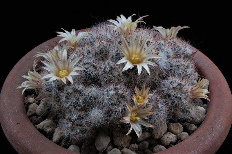 Mammillaria multiceps 8450-216