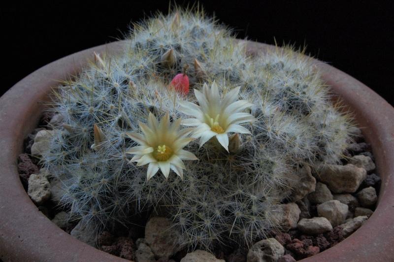 Mammillaria multiceps 8451-213