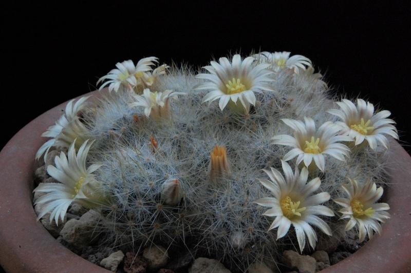 Mammillaria multiceps 8456-211