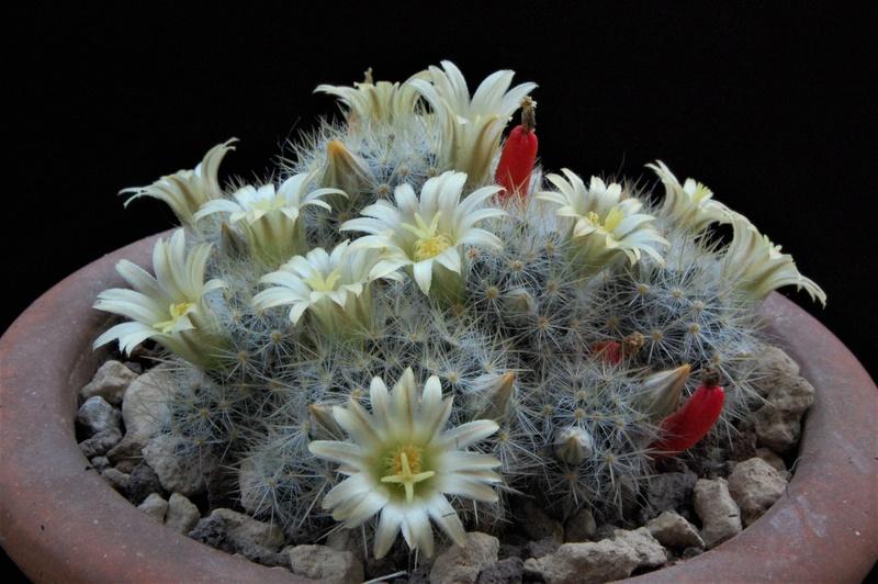 Mammillaria multiceps 8457-211