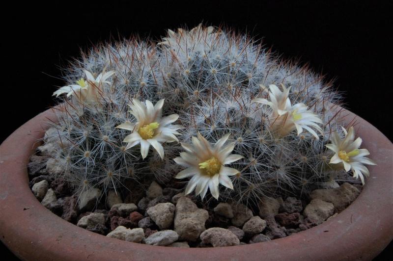 Mammillaria multiceps 8462-214