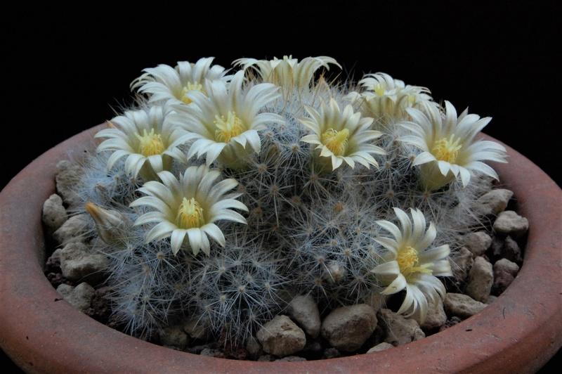 Mammillaria multiceps 8465-212