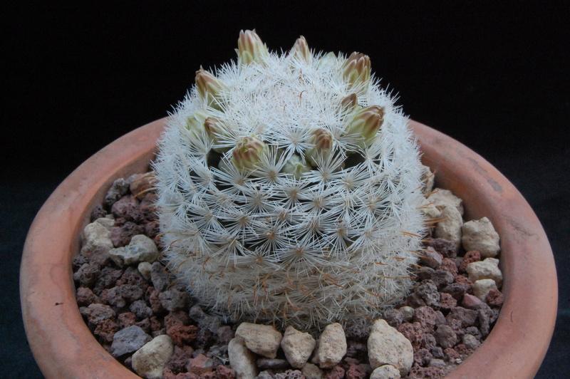Mammillaria gasseriana 9702-210