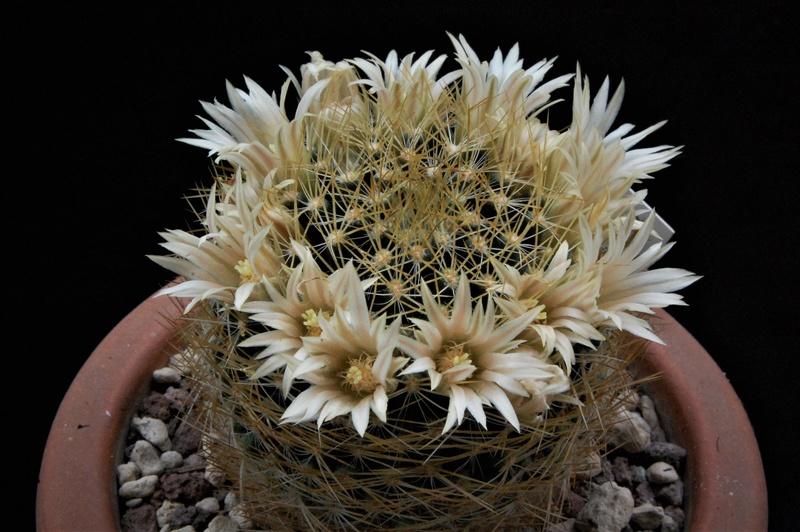 Mammillaria aurisaeta       Au10
