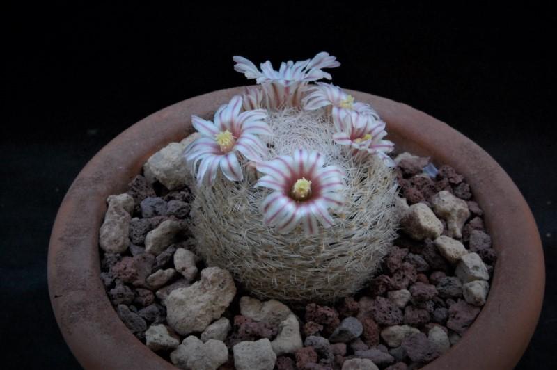 Mammillaria denudata Denuda10