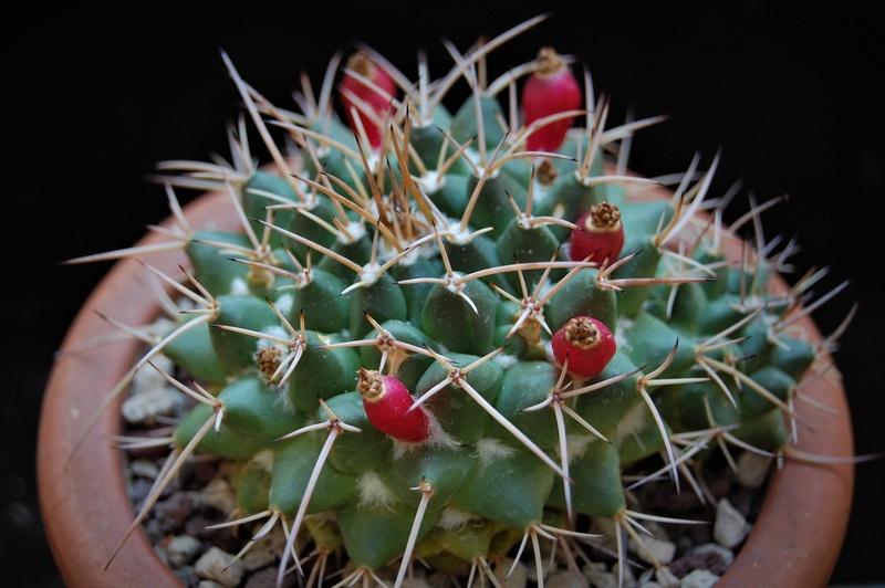 Mammillaria centricirrha Glll11