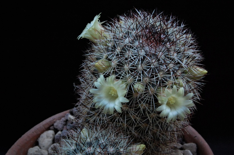 Mammillaria buxbaumeriana Ml14211