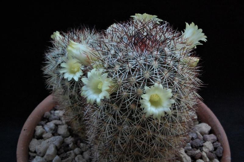 Mammillaria buxbaumeriana Ml142_10