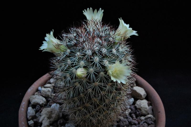 Mammillaria buxbaumeriana Ml142_12