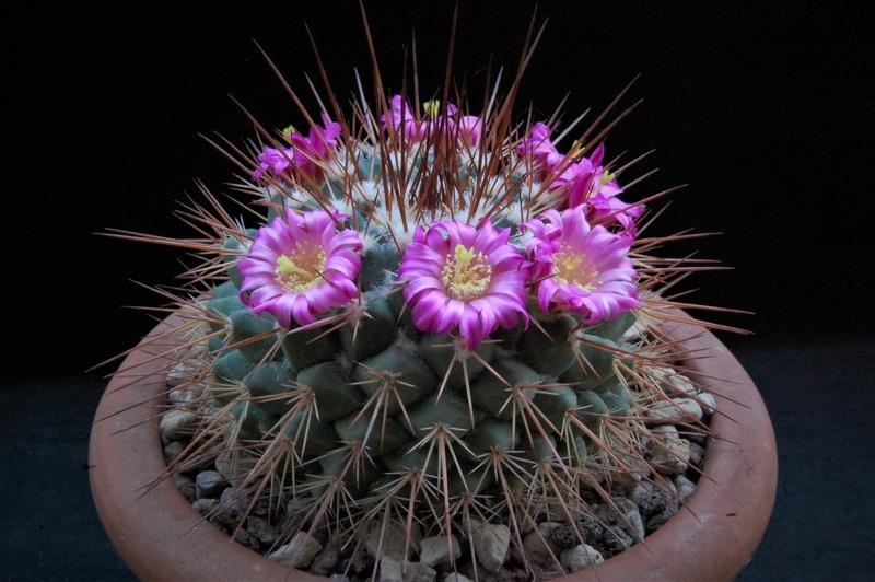 Mammillaria craigii Pol10