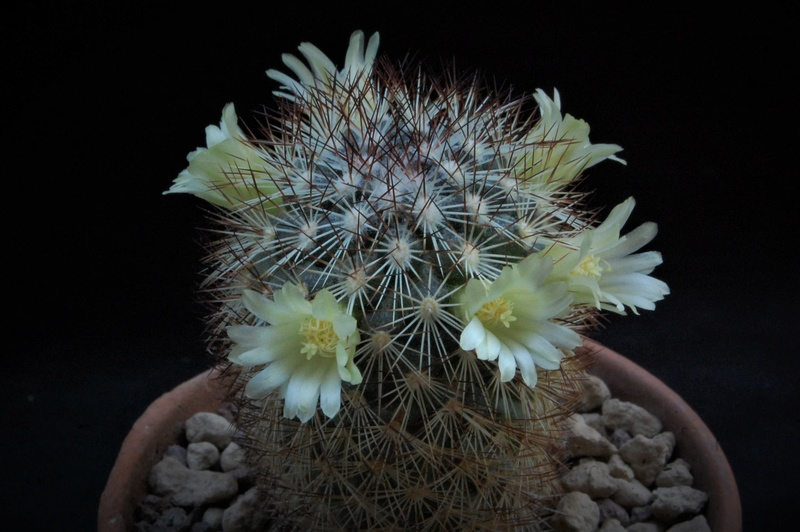 Mammillaria buxbaumeriana Rog68810