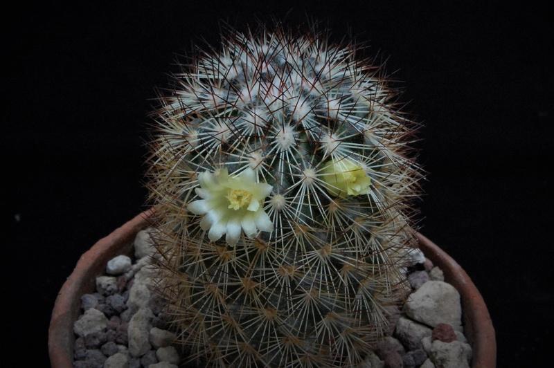 Mammillaria buxbaumeriana Rog68811