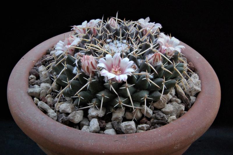 Mammillaria centricirrha Rs_15110