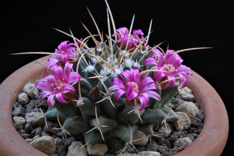 Mammillaria vallensis Vallen12