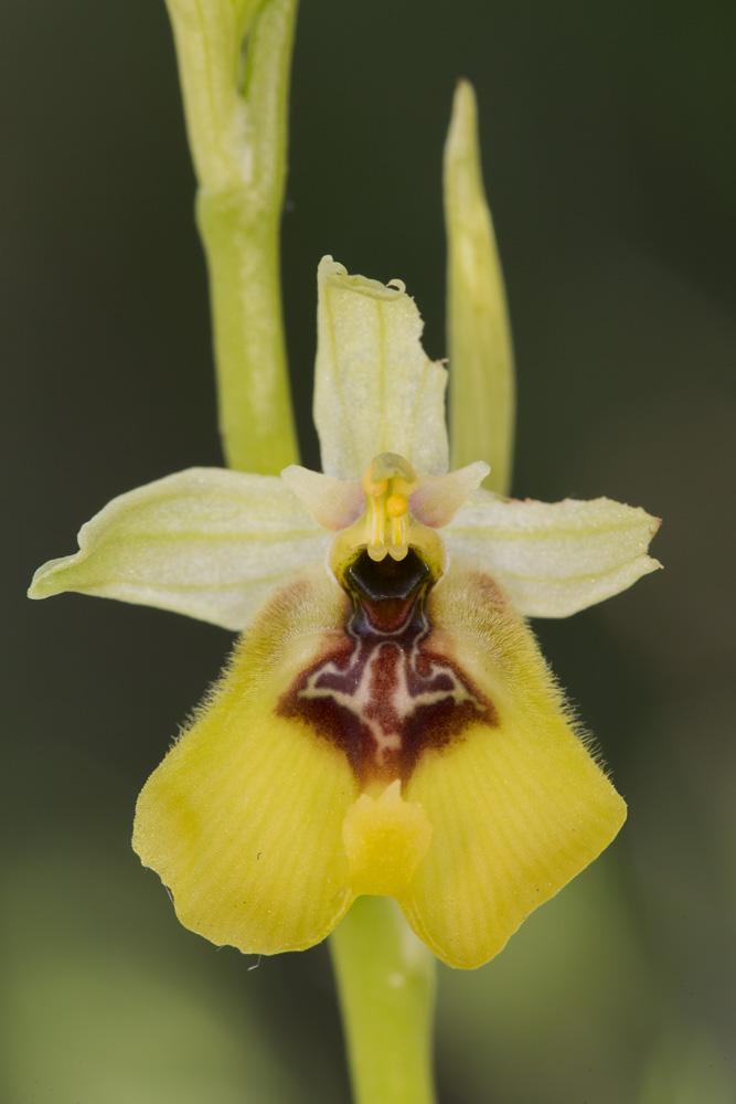 Ophrys lacaitae des Abruzzo _mg_0710