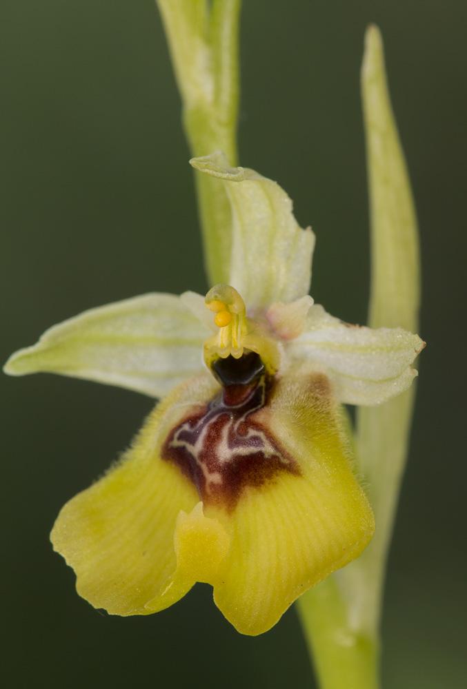 Ophrys lacaitae des Abruzzo Sin-ty18