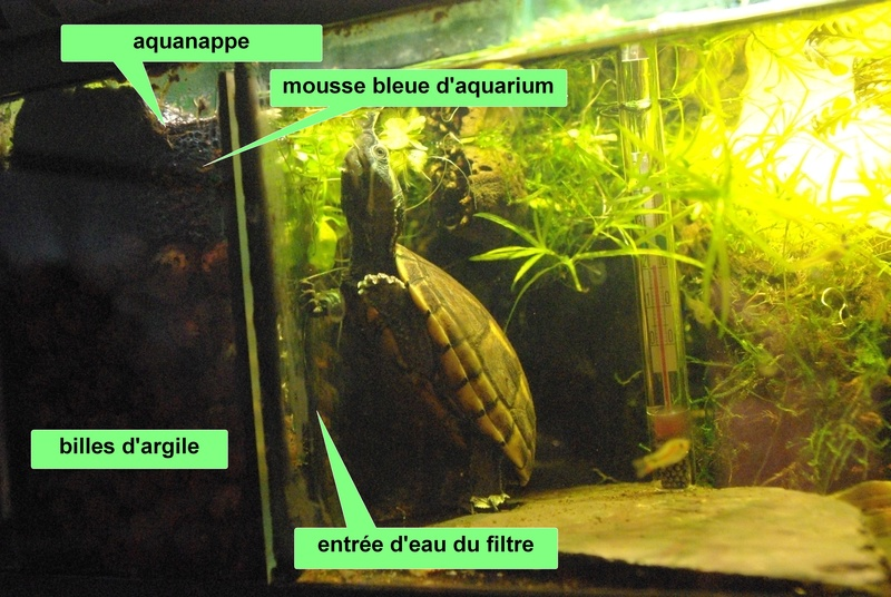 L'aquaterrarium de Janine (Kinosternon baurii) Imgp7810
