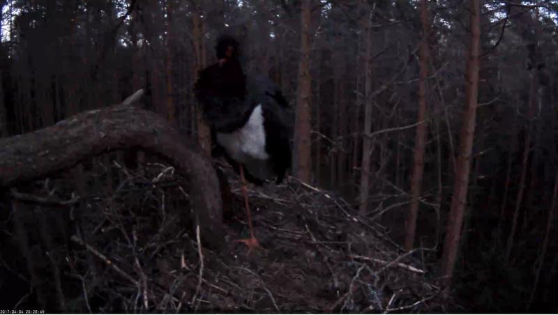 Black Stork Nest 2017 2017-017