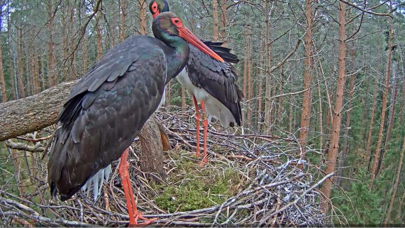 Black Stork Nest 2017 2017-020