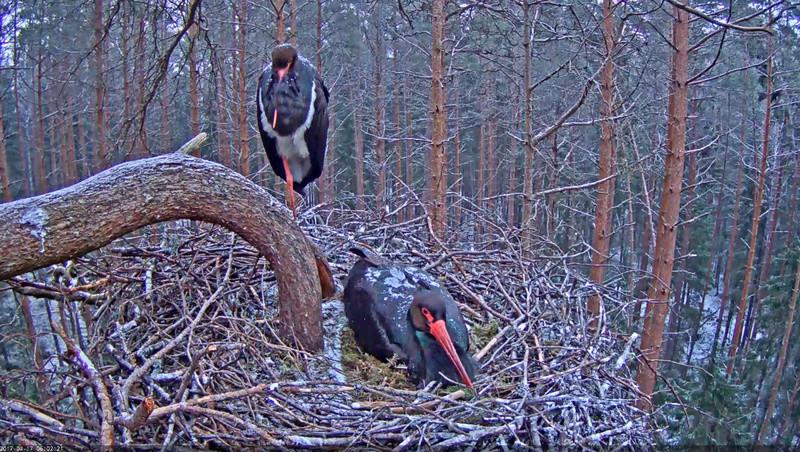 Black Stork Nest 2017 2017-022
