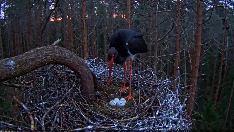 Black Stork Nest 2017 2017-031