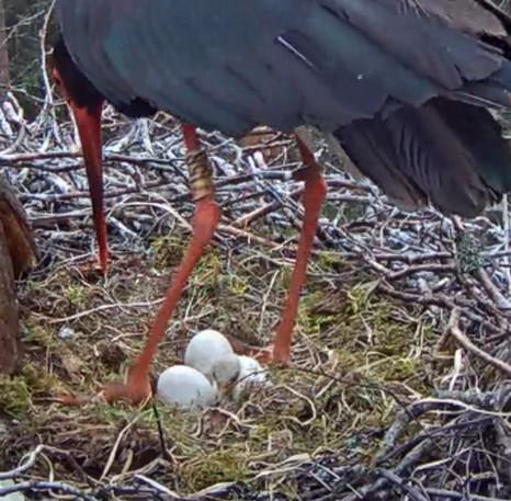 Black Stork Nest 2017 2017-034