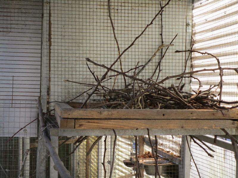 Corbeau pie ( Corvus albus) (2011) - Page 9 Corbea22