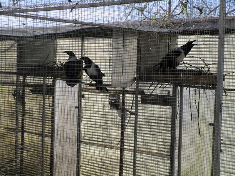 Corbeau pie ( Corvus albus) (2011) - Page 9 Corbea23
