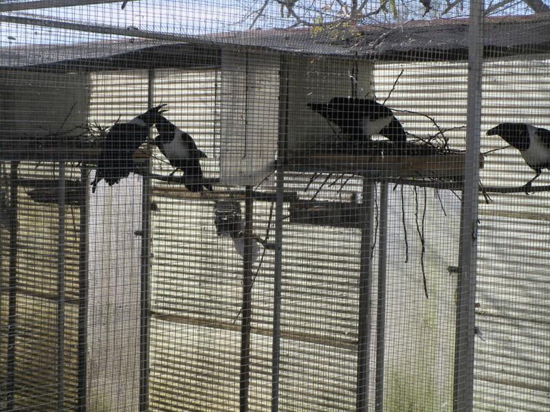 Corbeau pie ( Corvus albus) (2011) - Page 9 Corbea24