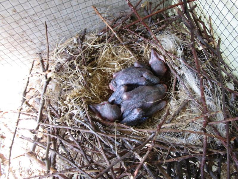 Corbeau pie ( Corvus albus) (2011) - Page 9 Oiseau18